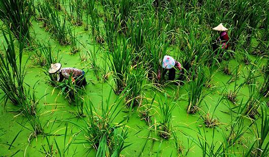 福建安溪:穩產保供 助農增收