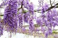 """到""""福建最美的紫藤长廊""""打卡去!"""