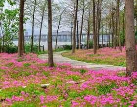 惊艳!乌龙江湿地公园现紫花酢浆草花海
