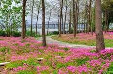 驚艷!烏龍江濕地公園現紫花酢漿草花海