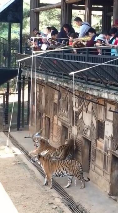 """云南野生动物园""""钓老虎""""项目发布"""