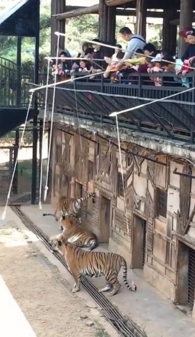 人掉不下去老虎跳不上来?网友质疑,云南动物园回应钓老虎项目了