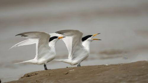 """这是闽江口沙洲上的""""神话之鸟""""——黑嘴端凤头燕鸥。新华社记者 梅永存 摄"""