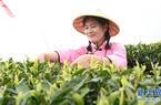 福建政和举办第二届白茶开茶节