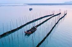 福建霞浦:海帶迎來收獲季