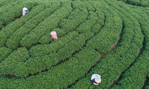 福建詔安:八仙山下采春茶
