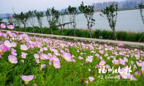 福州再添美麗月見草觀賞處 位于烏龍江濕地公園
