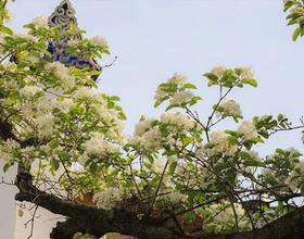 四月白雪流蘇開 坊巷春色惹人愛