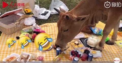 野餐还没拍好照就被牛吃了怎么回事?详细经过现场图曝光网友笑翻