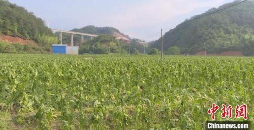 连城2800亩农作物遭雹灾 10村农户受损严重