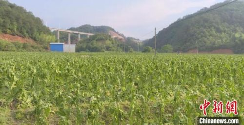 連城2800畝農作物遭雹災 10村農戶受損嚴重
