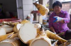 福建漳浦:萬畝竹海筍當鮮
