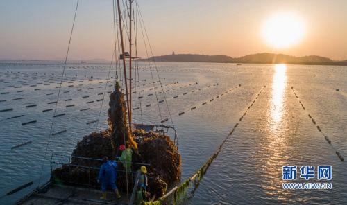福建湄洲湾开启海带丰收季