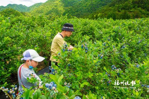 游客在采摘基地内采摘蓝莓。福州晚报记者 林双伟 摄
