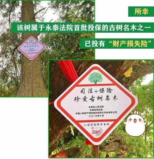 福建首例!福州永泰古树受伤,保险理赔6244元!