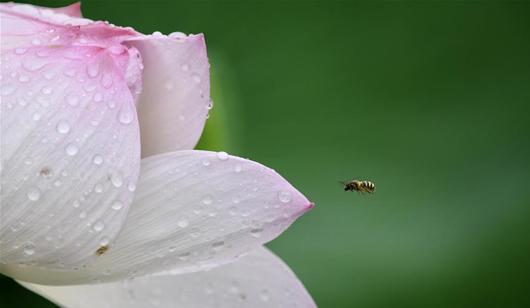 福州:雨荷