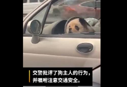 乐山熊猫狗逛街怎么回事 网友:只有松狮染成这样最像熊猫