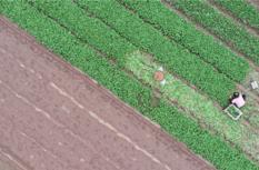 泉州鯉城:菜農搶收蔬菜