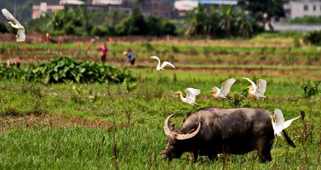 福州生態好 引來數百只牛背鷺簇足停留