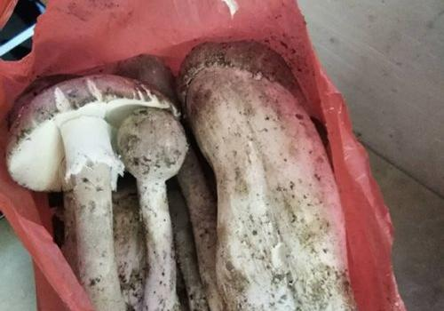 误食毒蘑菇24岁女子肝衰竭 医生:野生蘑菇最好不要采食