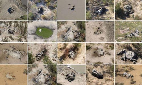 非洲350头大象接连离奇死亡怎么回事?非洲大象死亡图片曝光令人震惊